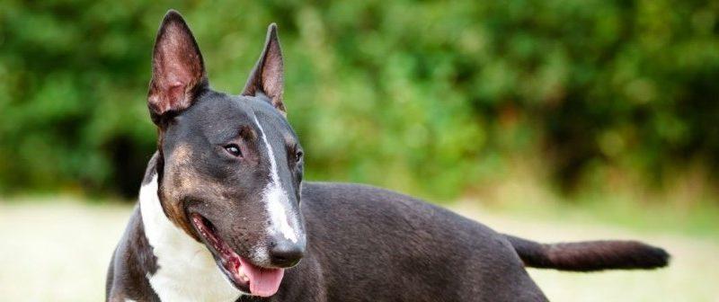Le bull-terrier, un chien qui parait inoffensif